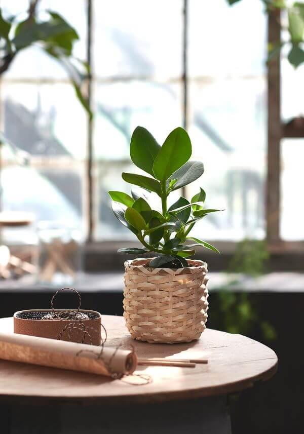 Vaso de clusia na decoração de casa