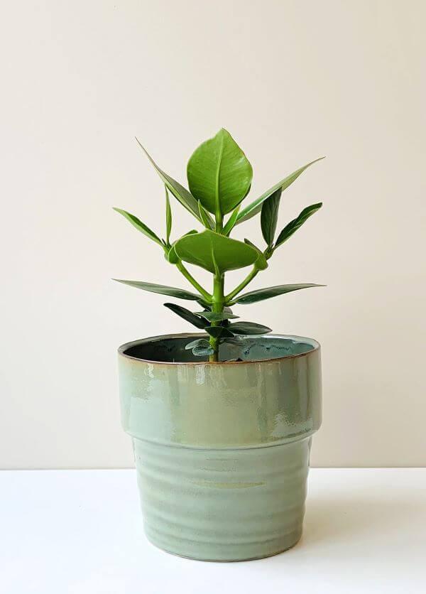 Vaso de clusia moderno