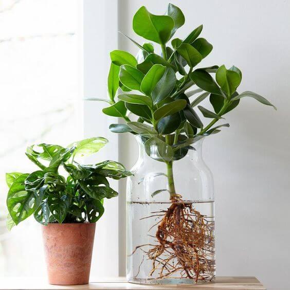Vaso de clusia na sala de estar