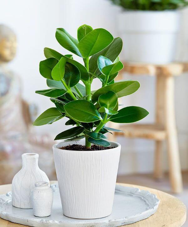 Decore sua sala com os vasos de clusia
