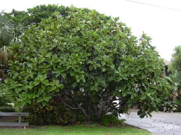 A ficus lyrata árvore pode atingir até 15 metros de altura