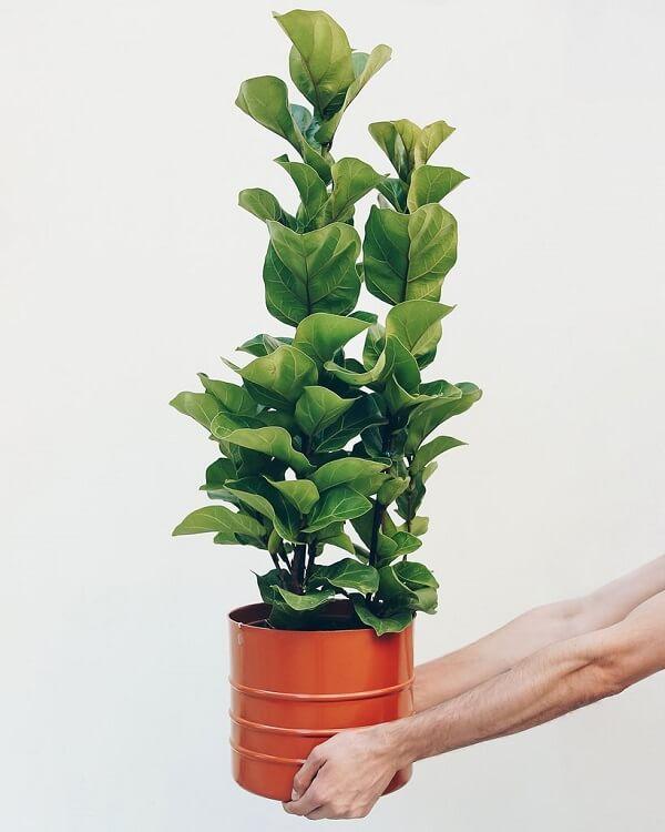 A planta ficus lyrata bambino é direcionada para cultivo em vaso