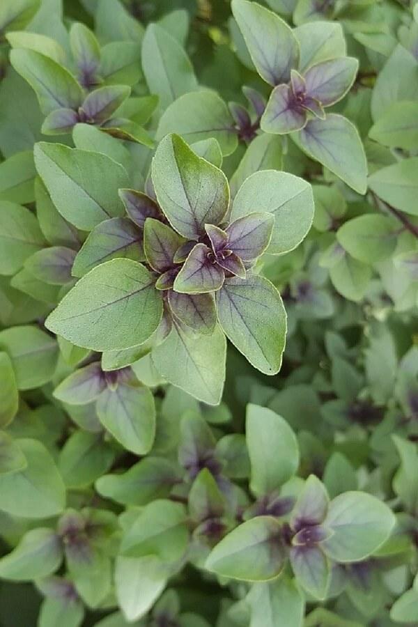 Aprenda como plantar manjericão em casa