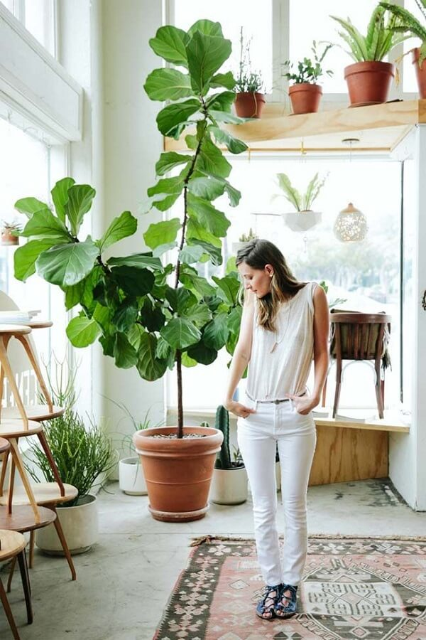 Cultive ficus lyrata vaso em diferentes ambientes da casa