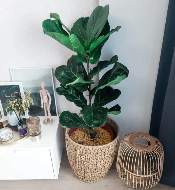 Ficus lyrata cuidados para não deixar o solo encharcado