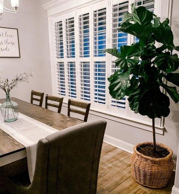 Ficus lyrata cultivada próxima a mesa de jantar