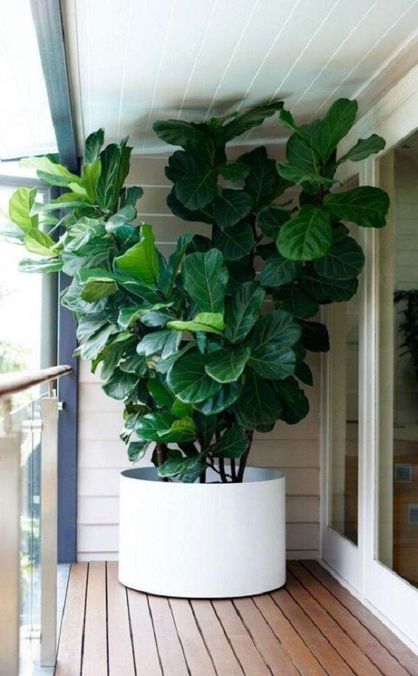 Ficus lyrata grande cultivada na varanda
