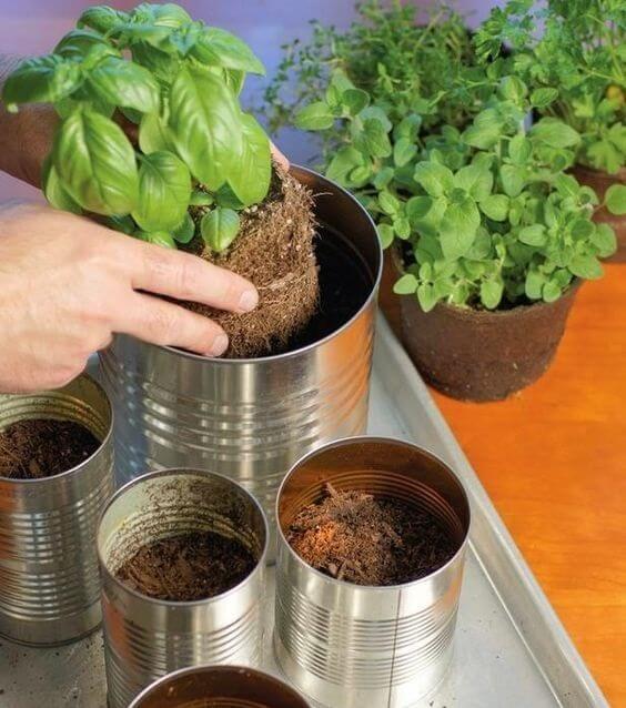 O manjericão pode ser facilmente cultivado dentro de vasos