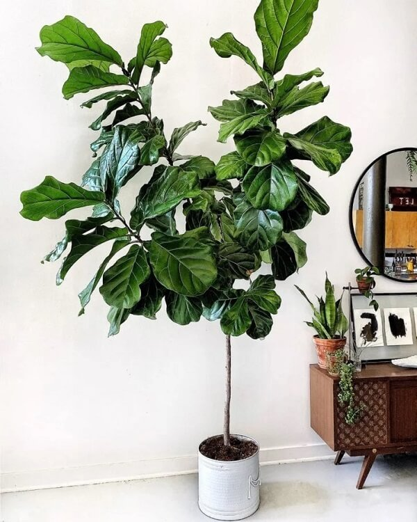 Reserve um cantinho especial para cultivar sua Ficus Lyrata