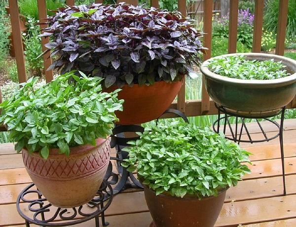 Você pode cultivar diferentes tipos de manjericão em casa