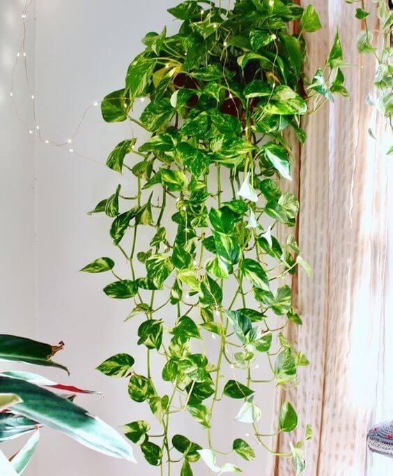Vaso de planta jiboia pendente