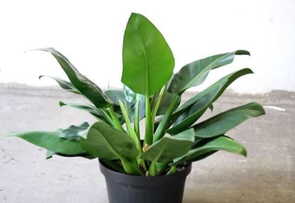 Vaso de pacová flor
