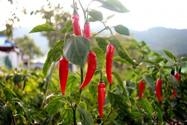 Aprenda como plantar pimenta malagueta para fazer receitas deliciosas