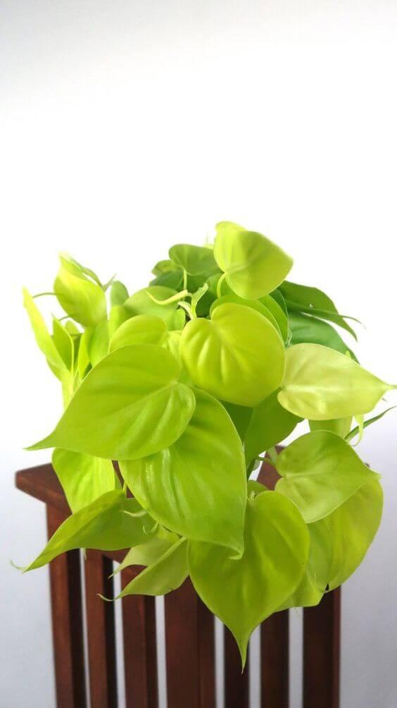 Vaso de planta jiboia amarela em casa