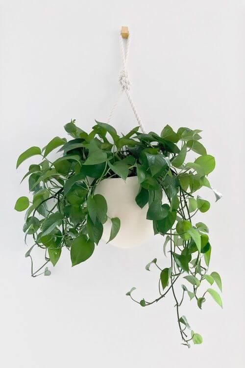 Vaso de planta jiboia na decoração moderna