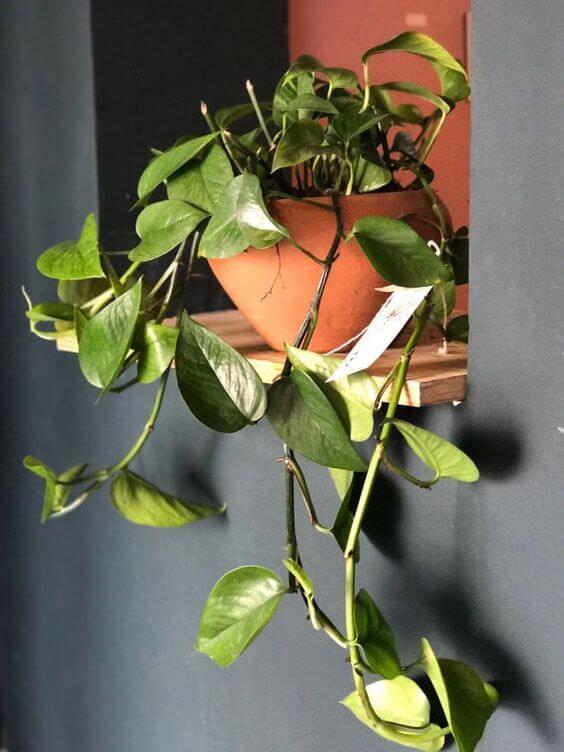 Vaso de planta jiboia na decoração de casa