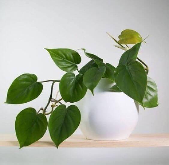 Decore prateleiras com a planta jiboia
