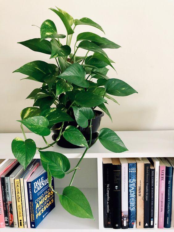 Vaso de planta jiboia verde bonito