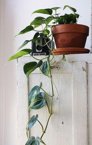 Planta jiboia na decoração rústica