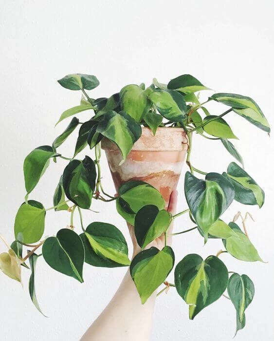 Planta jiboia no vaso rústico