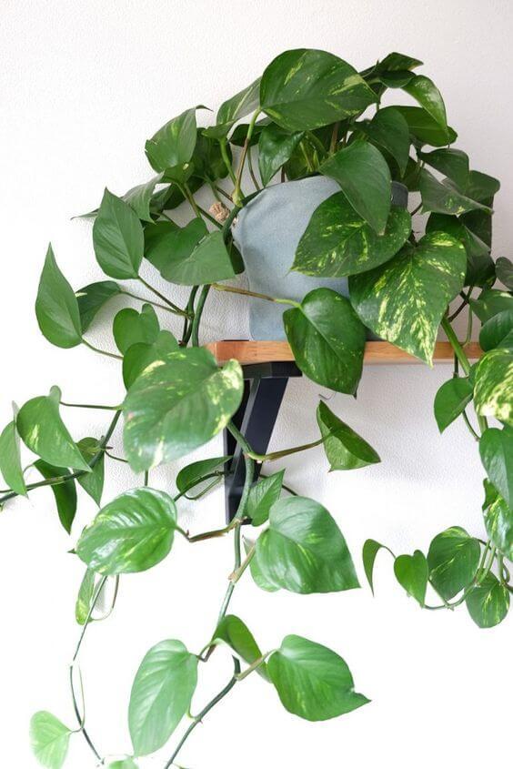 Prateleira com planta jiboia