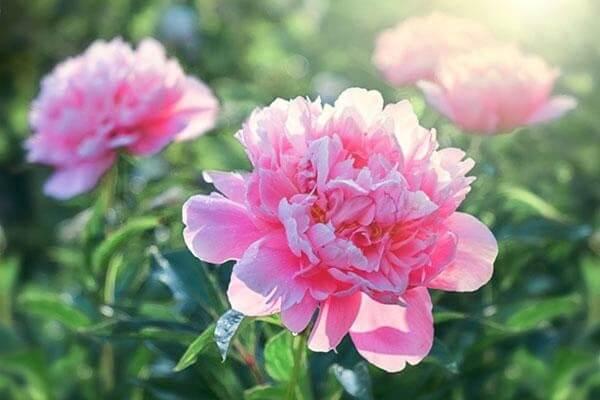 As Peônias apresentam flores grandes e majestosas