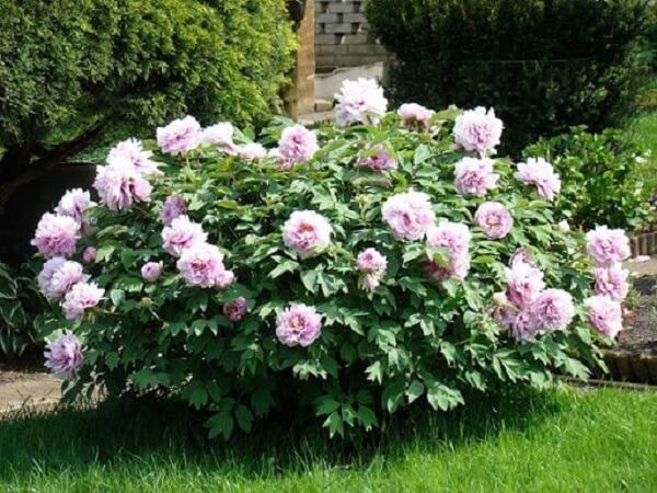 Cultive lindas Peônias no seu jardim