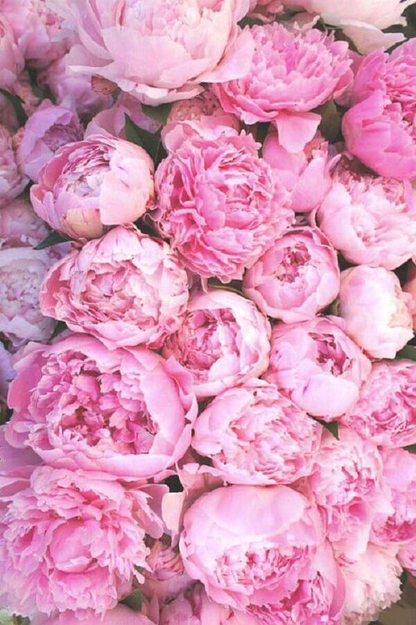 Uma única flor de Peônia pode contar com mais de 50 pétalas