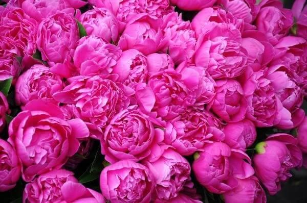 Uma flor de Peônia pode contar com mais de 50 pétalas
