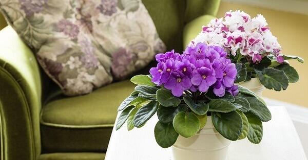 Violeta, flor roxa na decoração