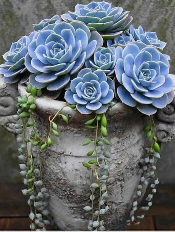Jardim com echeveria na coloração azul