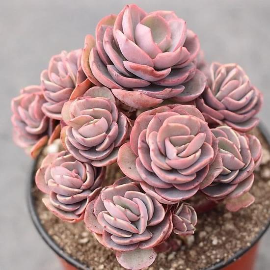 Vaso com rosa de pedra