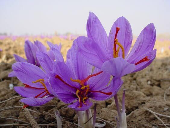 Flor açafrão é uma das flores exóticas mais procuradas para a especiaria