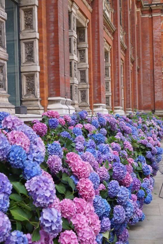 Flor roxa hortênsia no jardim de casa