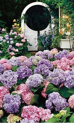 Jardim com flor roxa hortênsia