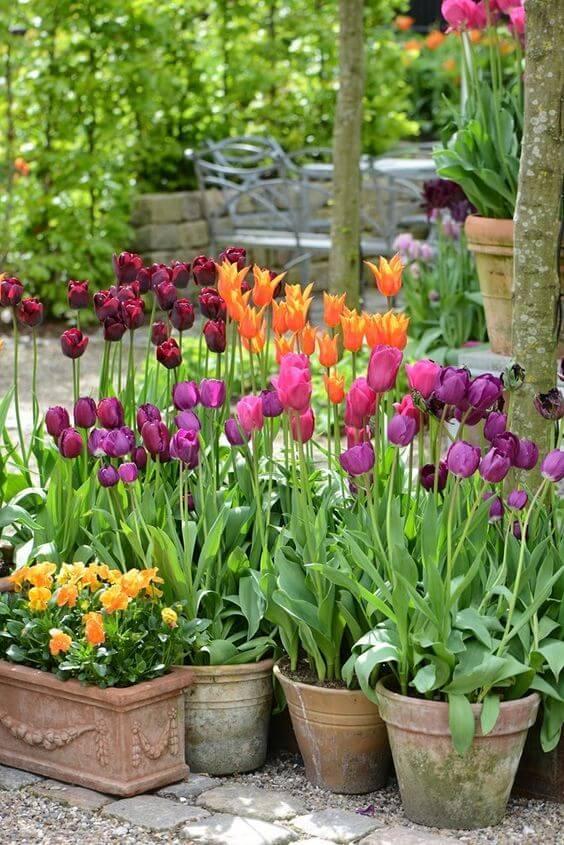 Tulipa, flor roxa