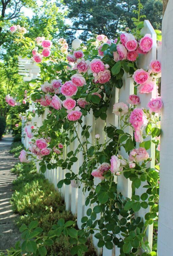 Jardim com rosa trepadeira
