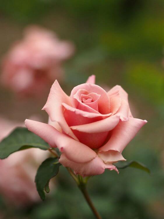 A flor rosa cor de rosa é linda para seu jardim