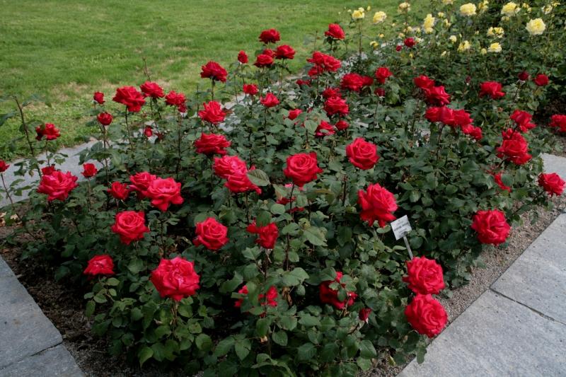 Roseira no jardim de casa