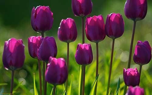 Tulipa flor roxa