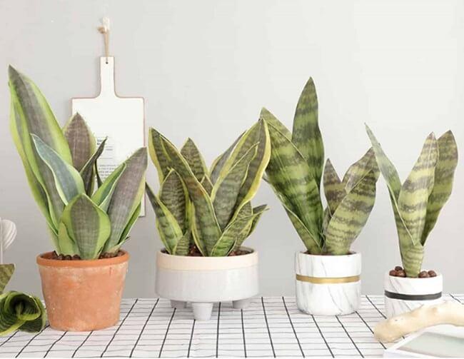 A espada de São Jorge é uma das plantas para decorar a sala de estar
