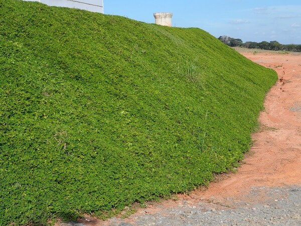 A grama amendoim é ideal para áreas de declive