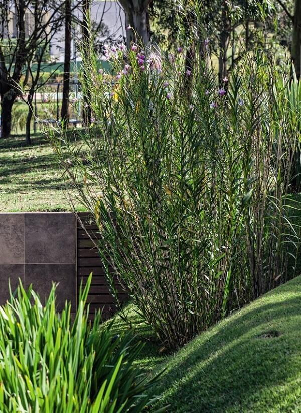 A orquídea bambu é uma planta muito resistente