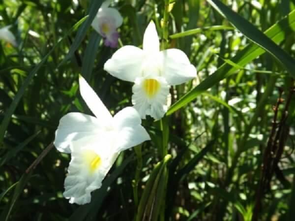 A orquídea bambu branca é delicada