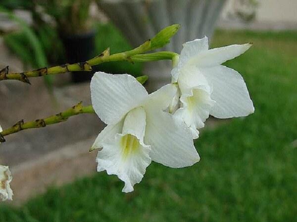 A orquídea bambu branca se destaca no jardim