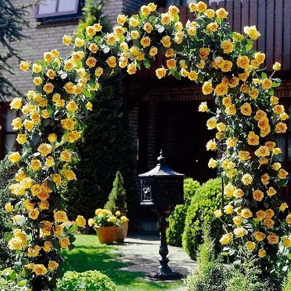 A rosa trepadeira amarela traz alegria para o jardim