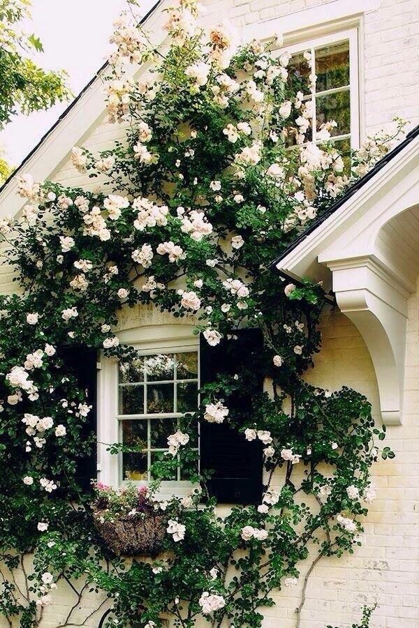 A rosa trepadeira branca se destaca na janela da residência