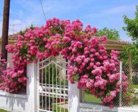 A rosa trepadeira encanta a decoração do portão de entrada