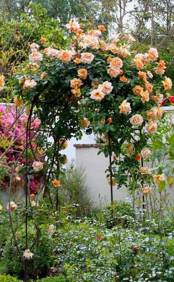 A rosa trepadeira se destaca na paisagem do jardim