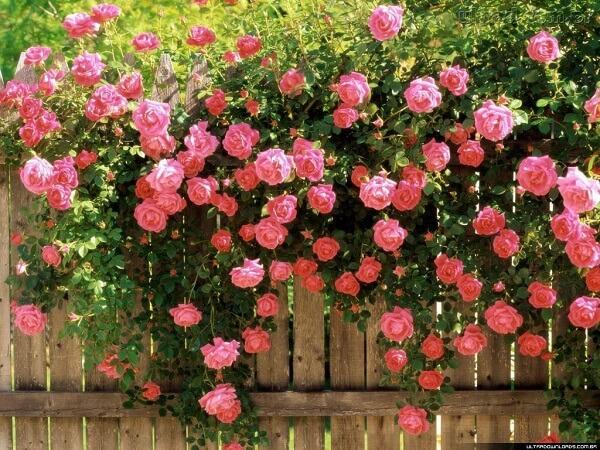 As rosas trepadeiras beiram a cerca de madeira